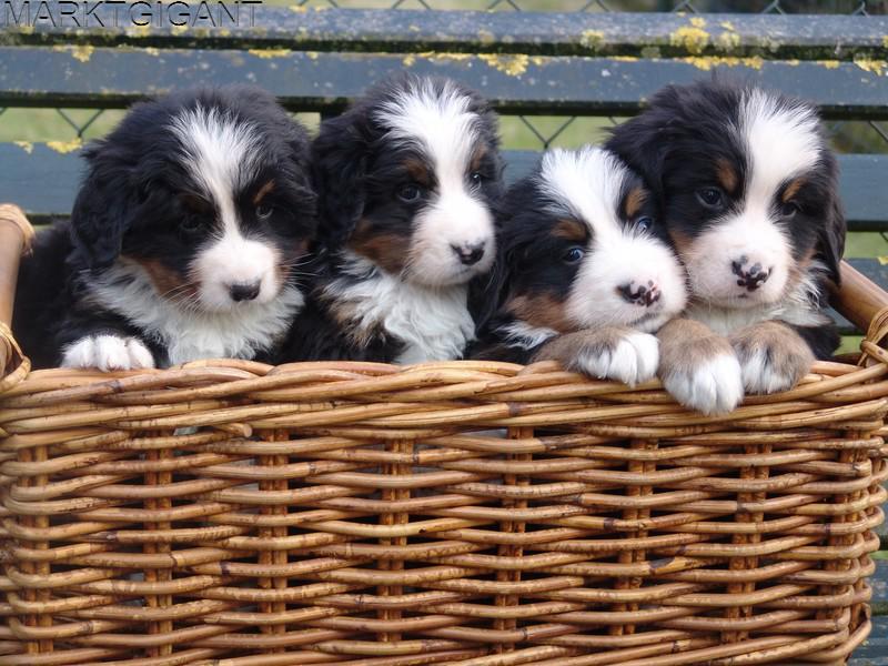 berner sennen pups met stamboom - Laarbeek Marktgigant Berner Sennen Pups